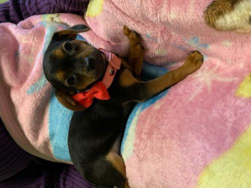 CHIWEENIE PUPPIES picture 4